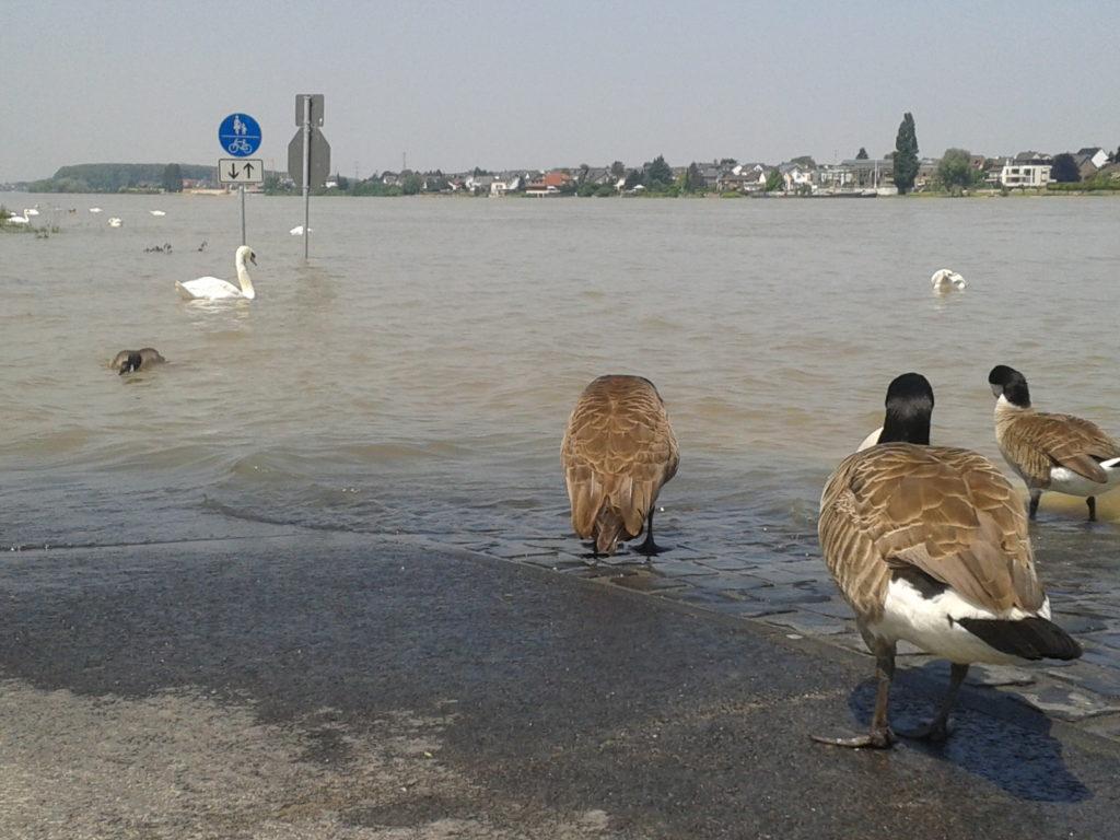 Überschwemmung am Rhein